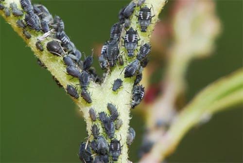 Hausmittel Gegen Blattlause Fur Garten Balkon Zimmerpflanzen