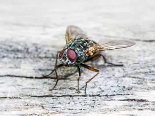 Hausmittel Gegen Fliegen Natürliches Gegen Die Fliegenplage