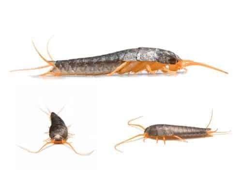 hausmittel gegen silberfische - silberfischchen in wohnung & bad